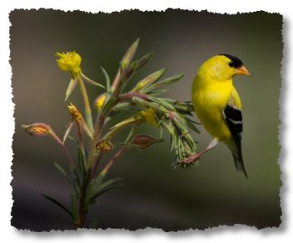 Tri-City's Willow Goldfinch