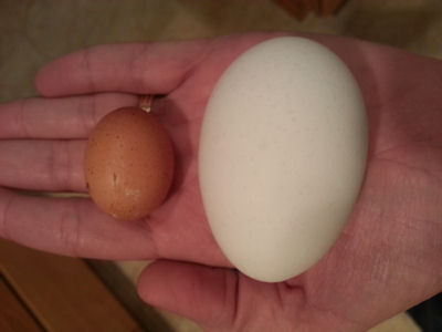 Small Chicken Egg